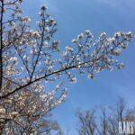 名古屋栄の美容室 HANS ハンスの桜の写真
